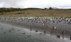 Pinguinos magallánicos