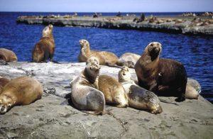 Lobos Marinos en Punta Loma
