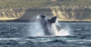 ballena-franca-austral