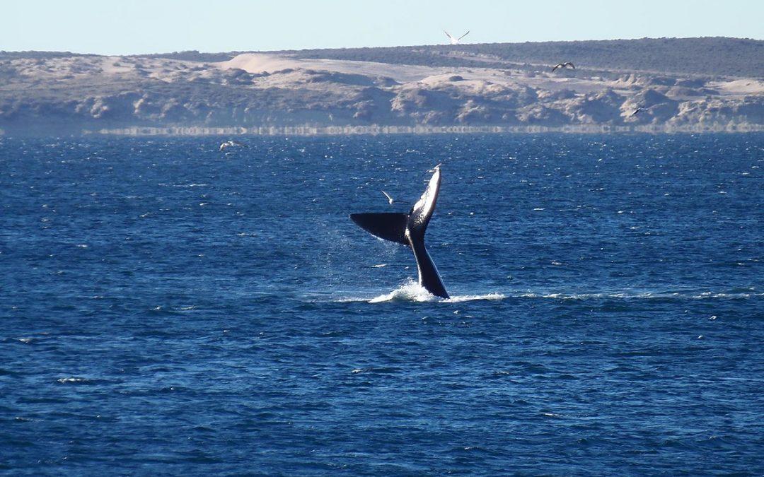 ¡Comienzan a llegar las ballenas a Puerto Madryn!